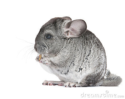 Young Chinchilla Stock Photos, Images, & Pictures.