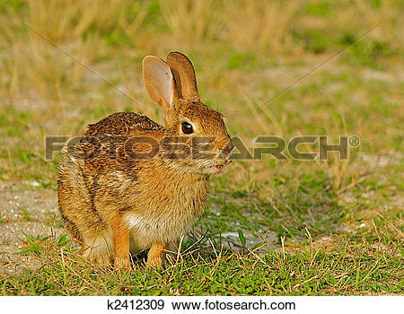 Stock Photograph of Wild rabbit in Chincoteague, Virginia.
