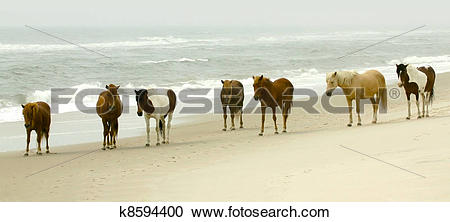 Stock Photography of Seven Chincoteague Ponies standing on the.