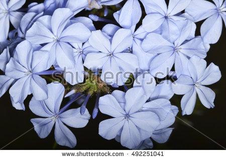 Plumbago Flowers Stock Photos, Royalty.