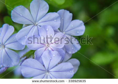 Plumbago Auriculata Stock Photos, Images, & Pictures.
