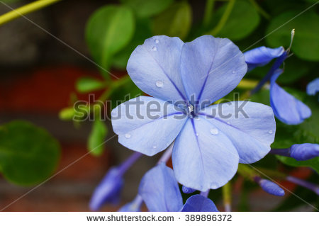 Blue Plumbago Stock Photos, Images, & Pictures.
