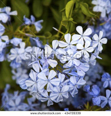 "plumbago Flower"" Stock Photos, Royalty."