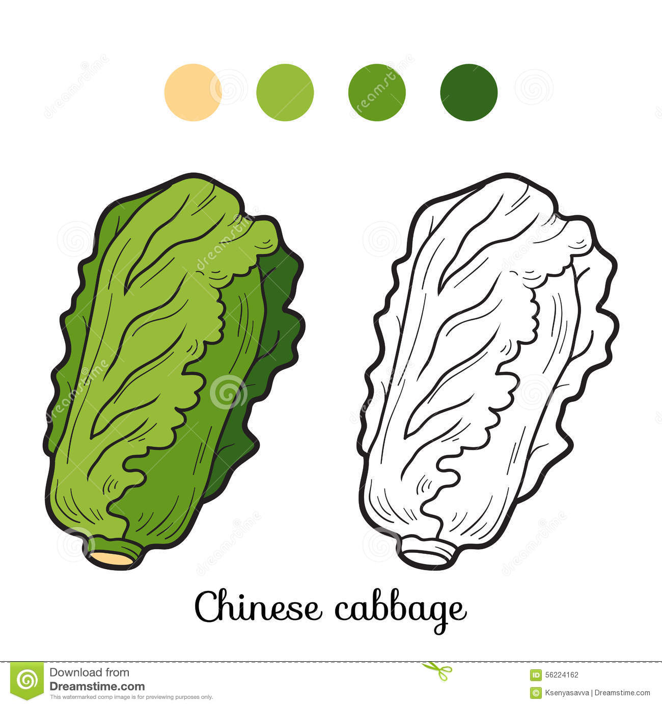 Chinese Cabbage Stock Illustrations.