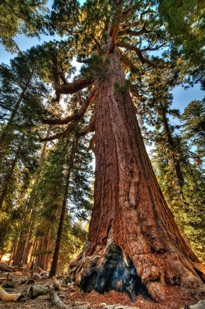 1000+ ideas about Big Trees California on Pinterest.