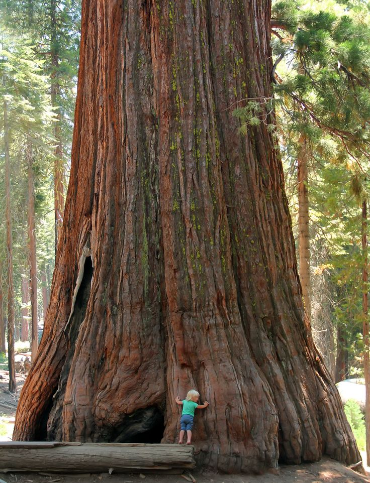 1000+ ideas about Sequoia Forest on Pinterest.