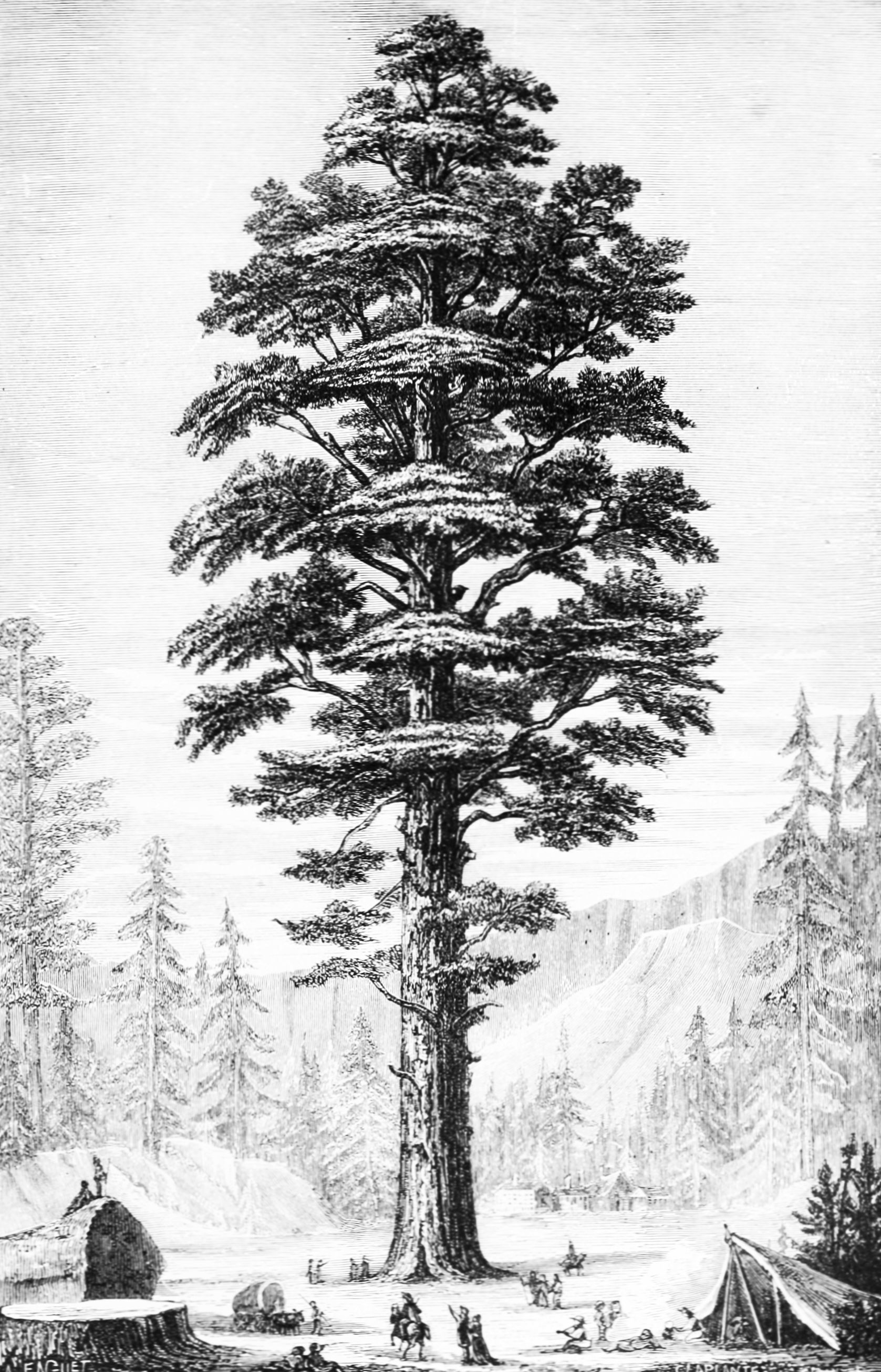 Taxodiaceae.