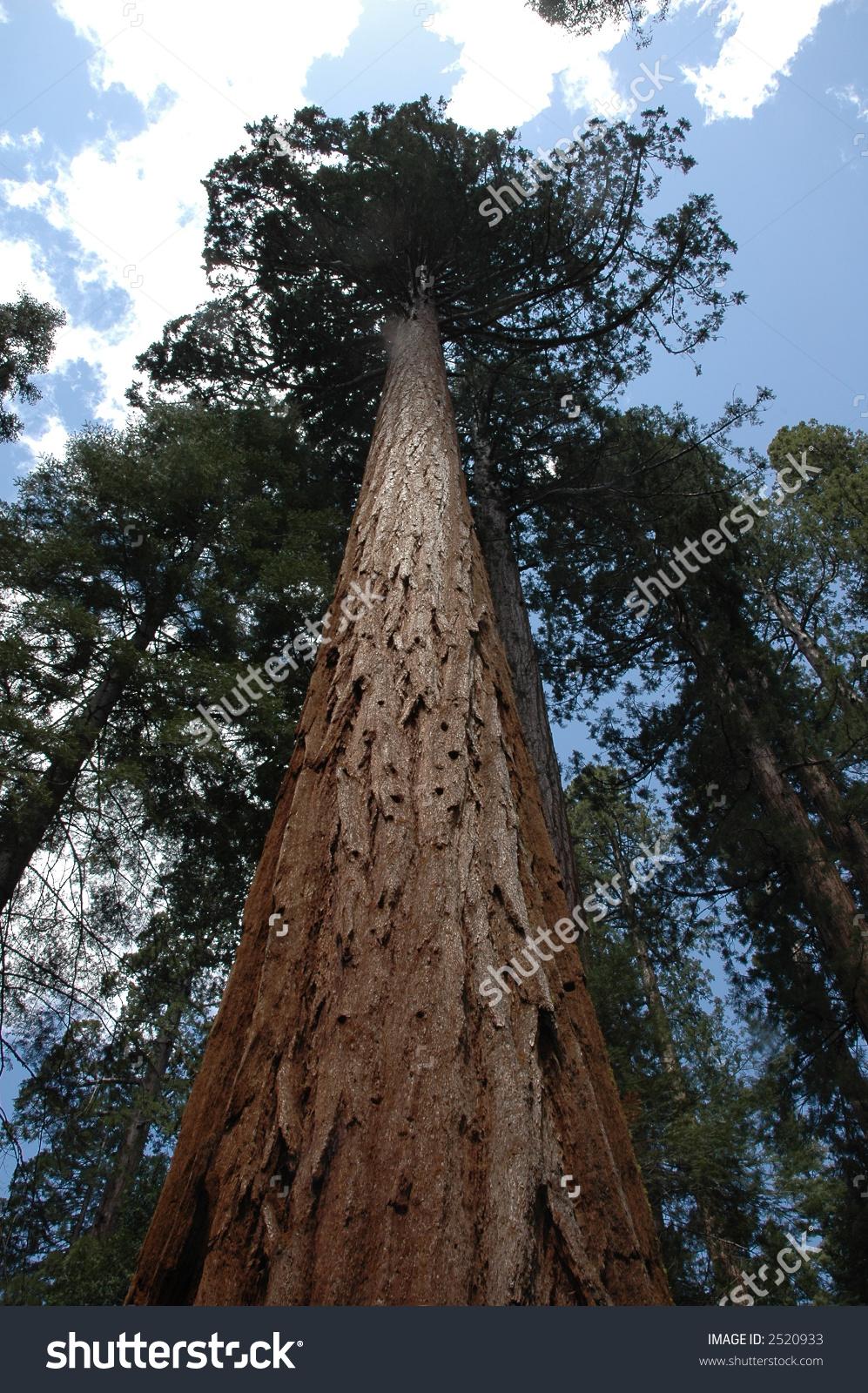Giant Sequoia Tree Stock Photo 2520933 : Shutterstock.