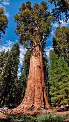 Sentinel Tree, Sequoia National Park.