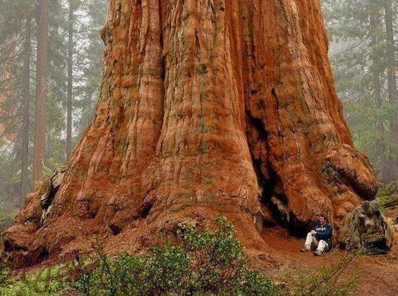 General Sherman Tree. The largest in the world. It is a giant.