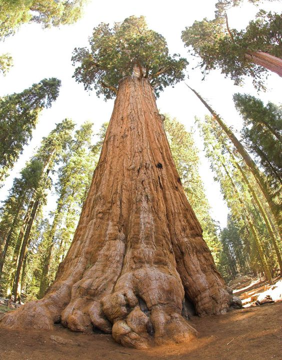 Tallest tree in the world.