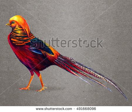 Chinese Pheasant Stock Photos, Royalty.