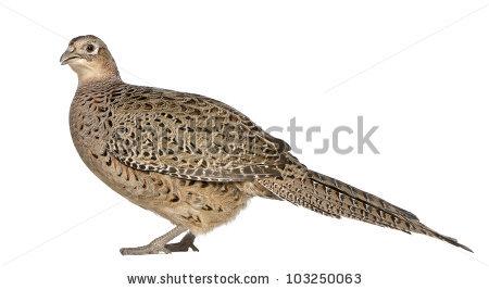 Golden Pheasant Stock Photos, Royalty.
