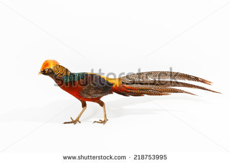 Drawing Golden Pheasant Chinese Pheasant Stock Vector 169724024.