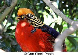 Pictures of Golden pheasant, Red golden pheasant, Chinese pheasant.
