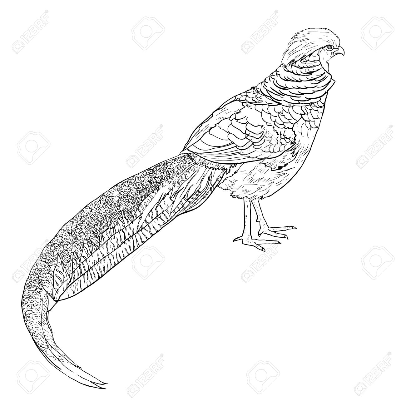 Drawing Of The Golden Pheasant Or Chinese Pheasant Royalty Free.