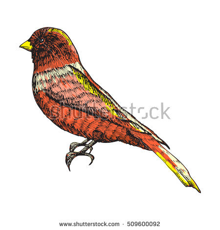 Drawing Golden Pheasant Chinese Pheasant Stock Vector 169724024.