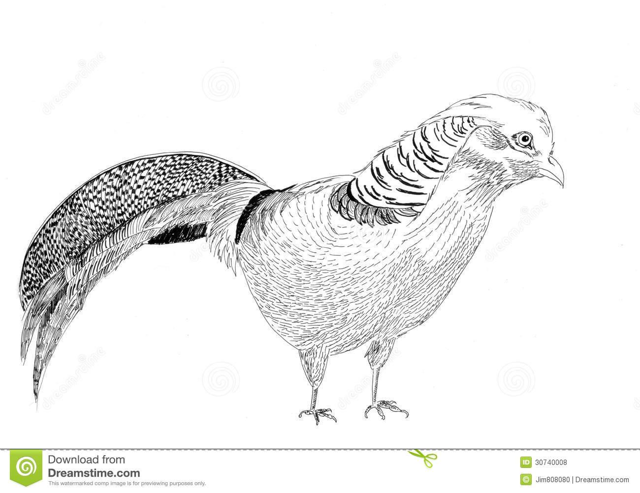 Golden Pheasant Bird Sketch Illustration Royalty Free Stock Photos.