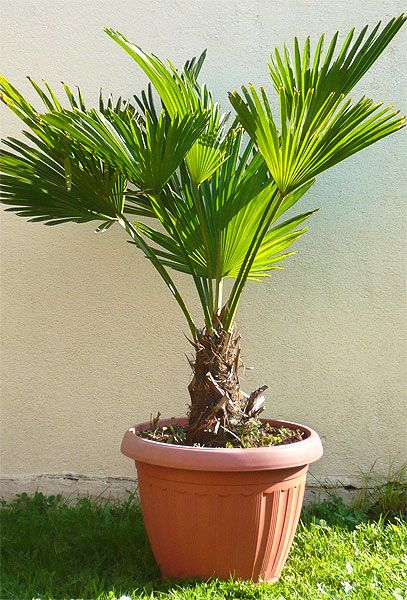 1000+ ideas about Trachycarpus Wagnerianus on Pinterest.