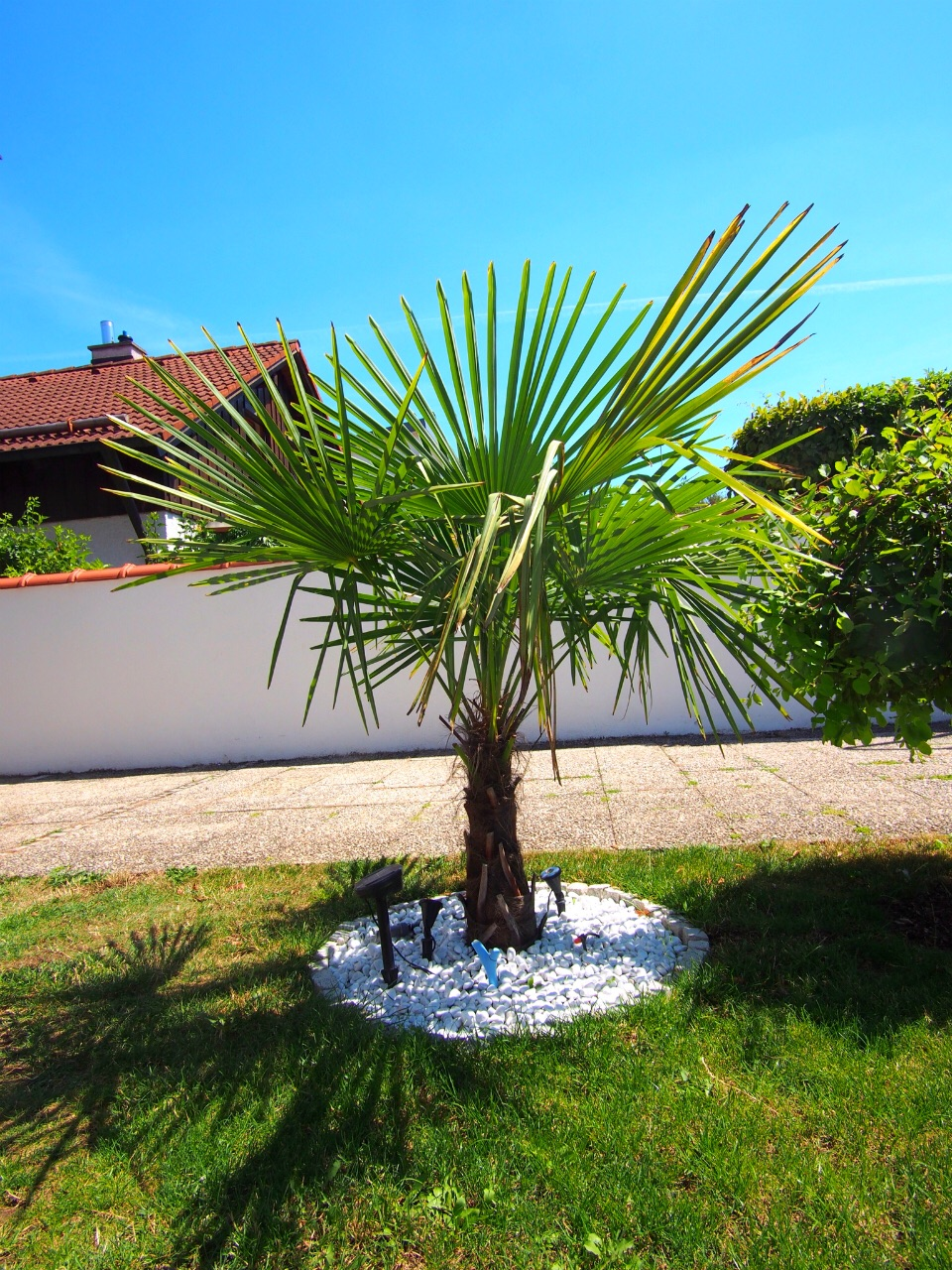 freilandexoten.de: chinesische Hanfpalmen (Trachycarpus Fortunei.