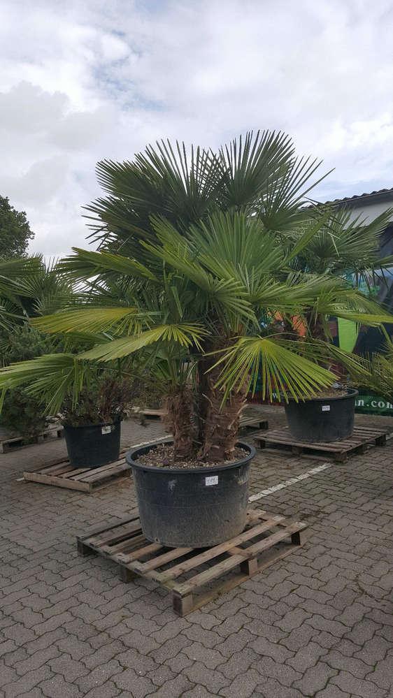 Trachycarpus Fortunei Hanfpalme 3 Stämmen Höhe: 2,70.