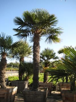 Palms, Windmills and Chinese on Pinterest.