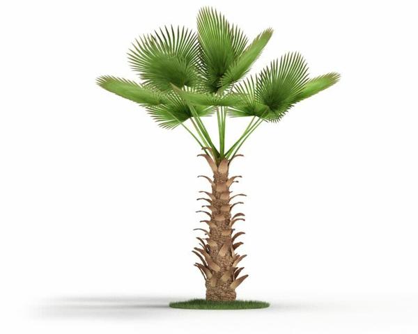 chinesische hanf palme pflege zimmerpalmen palmenarten.