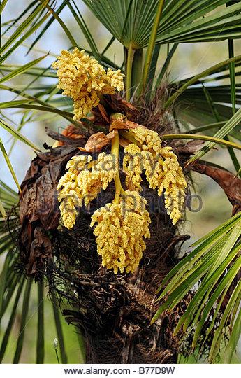 Chinesische Hanfpalme Trachycarpus Fortunei Stock Photos.