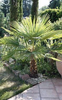 1000+ ideas about Palmier Trachycarpus on Pinterest.
