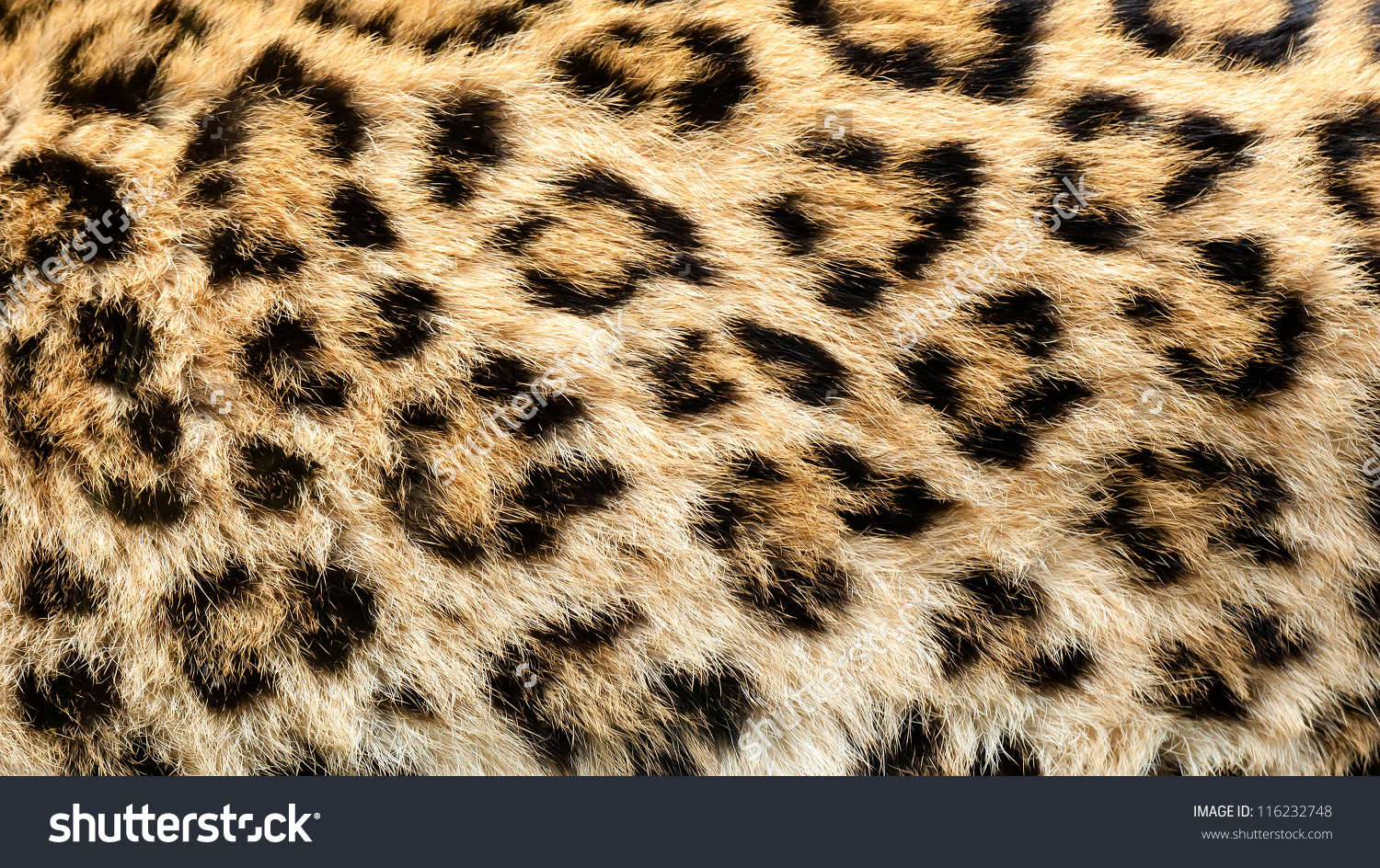 Real Live North Chinese Leopard Skin Texture Background Panthera.