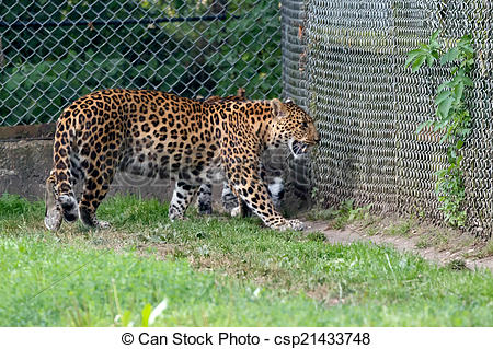 Stock Photo of North Chinese Leopard (Panthera pardus japonensis.