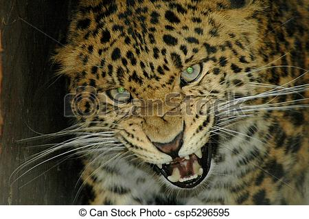 Stock Images of North Chinese leopard.