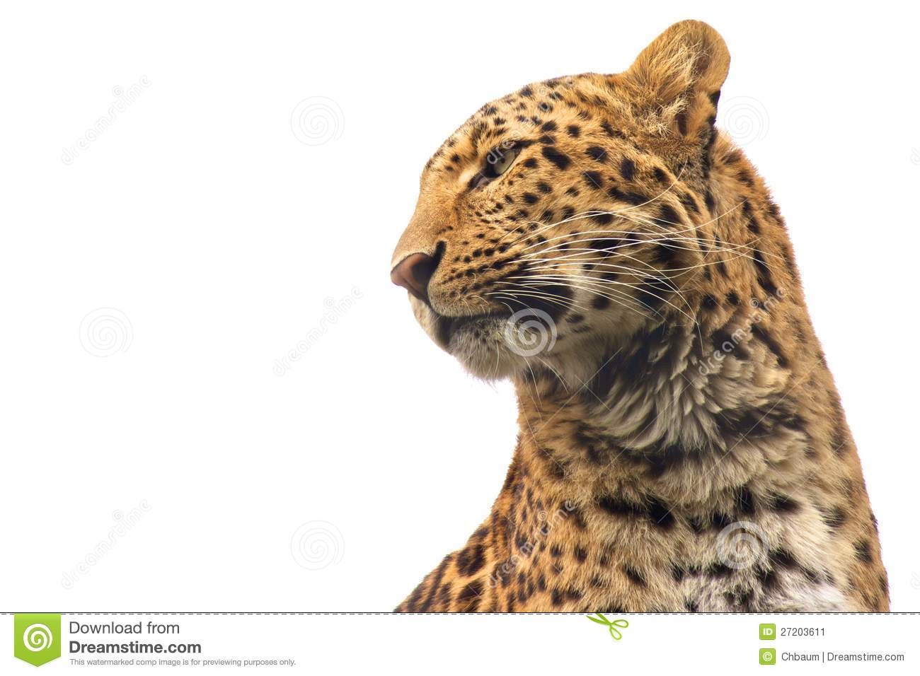 Chinese Leopard ISO Stock Image.
