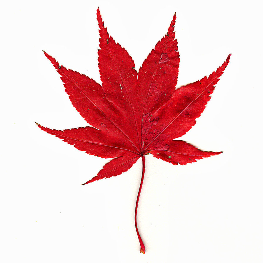 Japanese maple clipart no background.