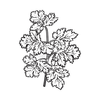Coriander Herb Cilantro Chinese Parsley Leaves Sketch Style Vector.