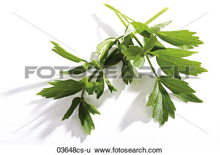 Stock Images of Coriander, Chinese parsley, Indian parsley.
