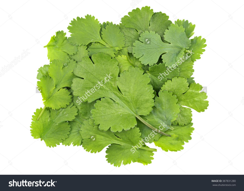 Fresh Coriander Leaves Coriandrum Sativum Called Stock Photo.