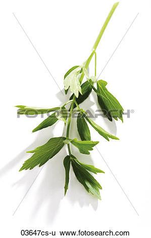 Stock Images of Coriander,Indian parsley, Chinese parsley.