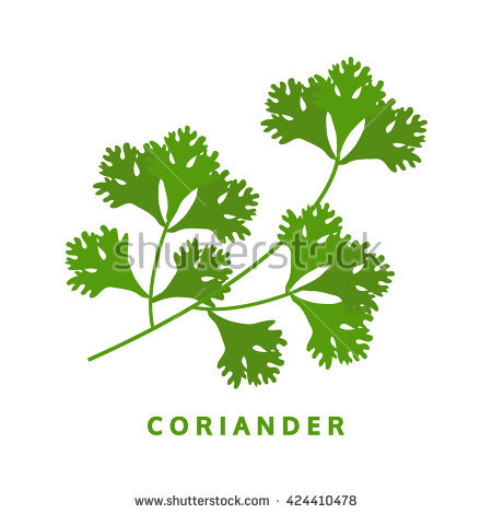 Coriander Herb, Chinese Parsley, Food Vector Illustration.