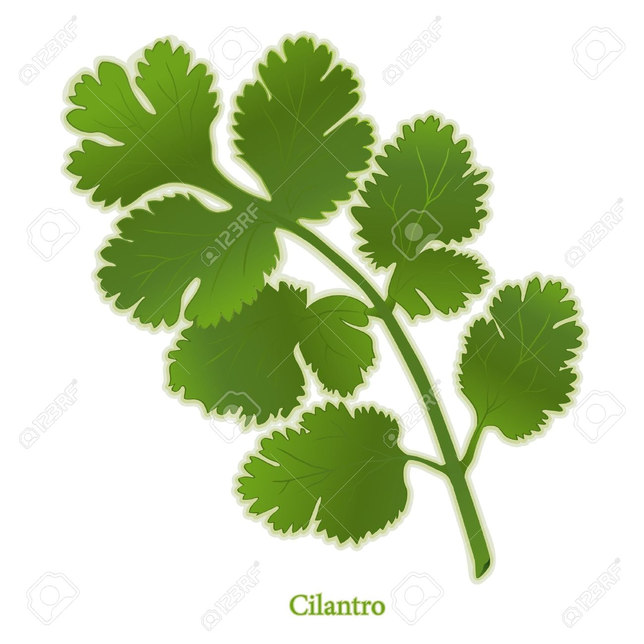 Cilantro Herb, Aromatic Leaves Used To Flavor Mexican, Latin.