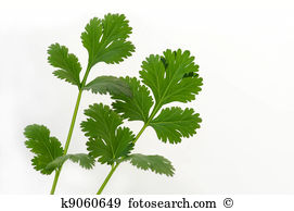 Chinese parsley Illustrations and Clipart. 10 chinese parsley.