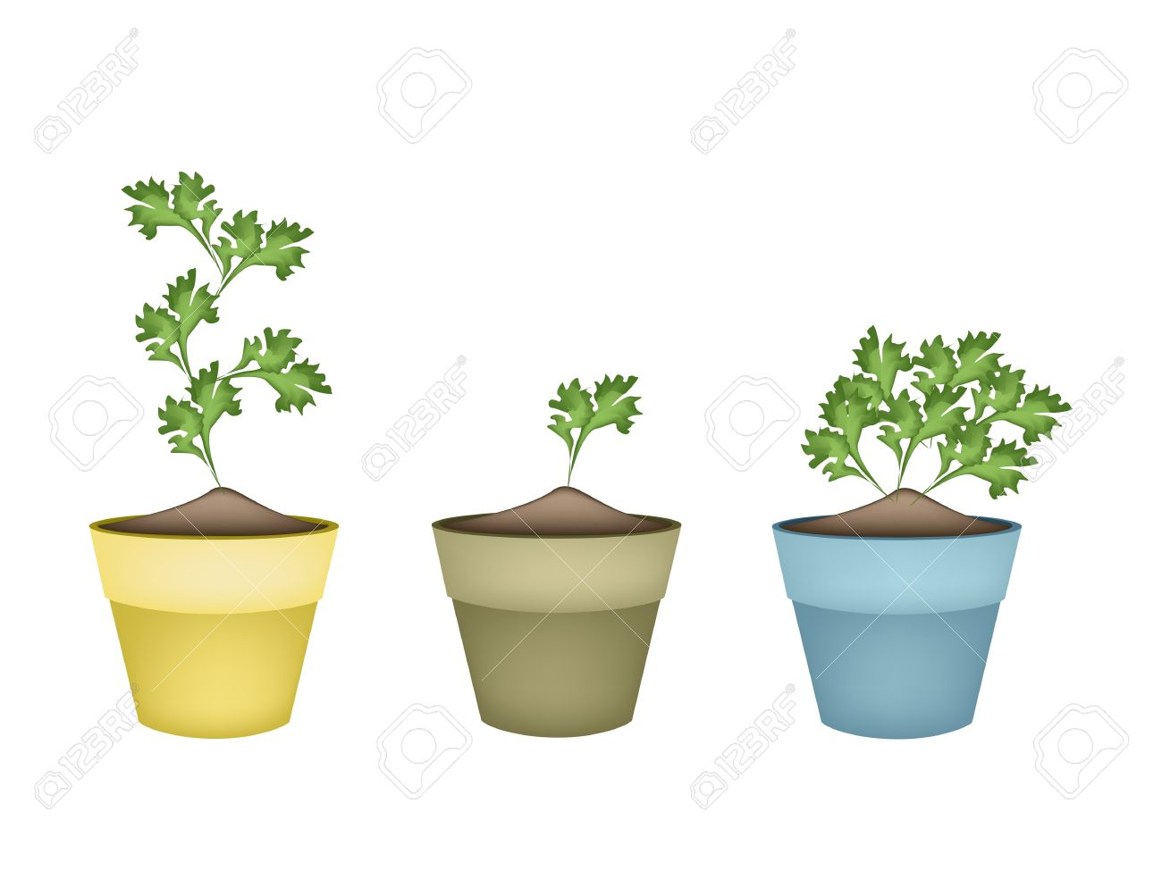 Vegetable And Herb, Illustration Of Fresh Parsley, Chinese Parsley.