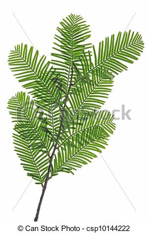 Stock Photo of Chinese redwood.