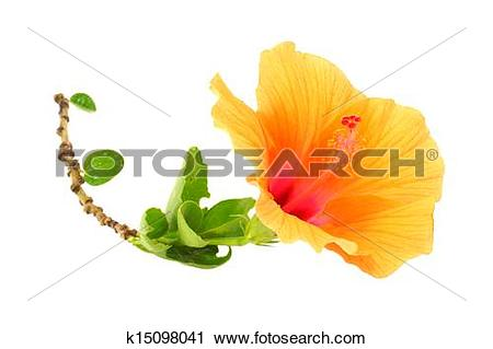 Stock Photography of Chinese rose, Orange Hibiscus flower on white.