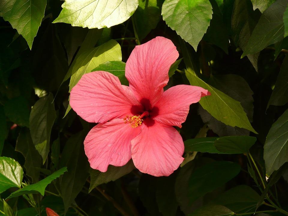 Free photo Blossom Flower Chinese Rose Eibisch Hibiscus Bloom.