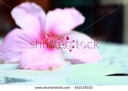 Chinese Hibiscus Stock Photos, Royalty.