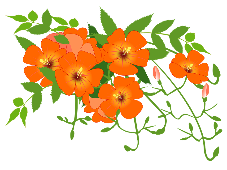Free illustration: Chinese Trumpet Vine, Flower Vine.