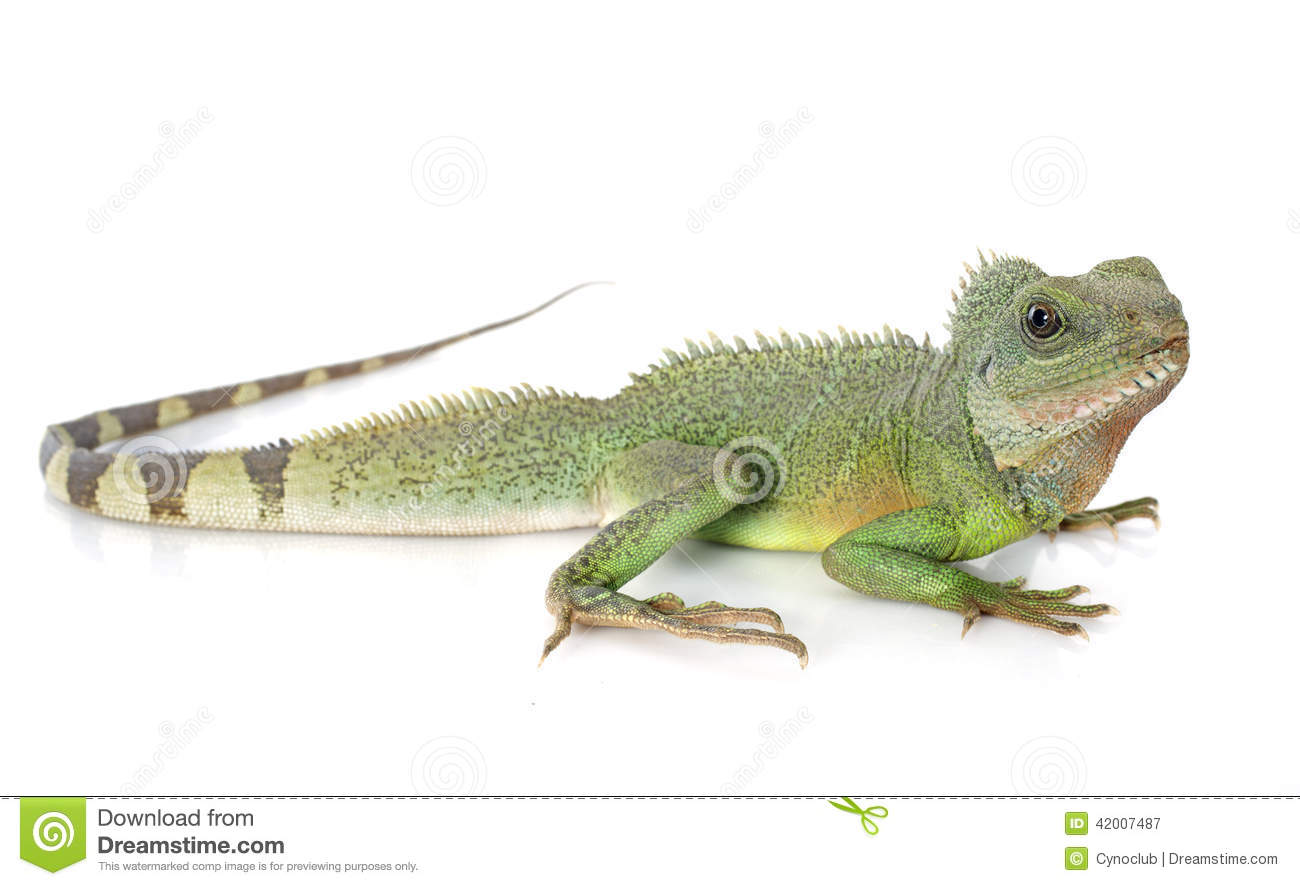 Realistic water dragon clipart.