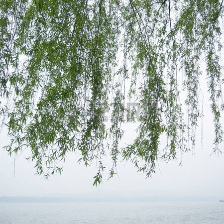 188 Weeping Willow Leaf Stock Vector Illustration And Royalty Free.