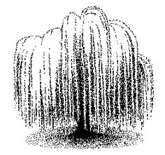 Chinese weeping willow clipart #4